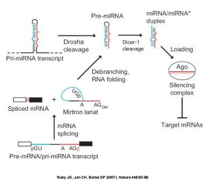 Model for convergence of the canonical and mirtronic miRNA biogenesis pathways