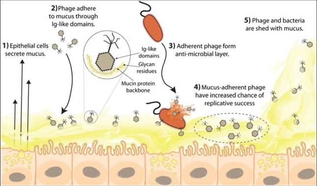 bacteriophage